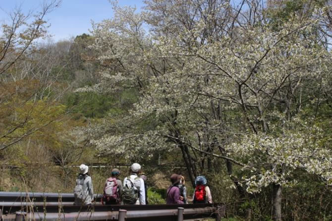 観察会でみたカスミ桜